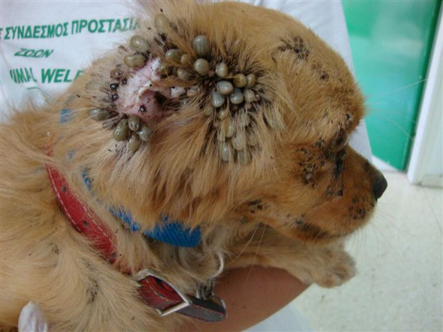 dog infested with ticks!