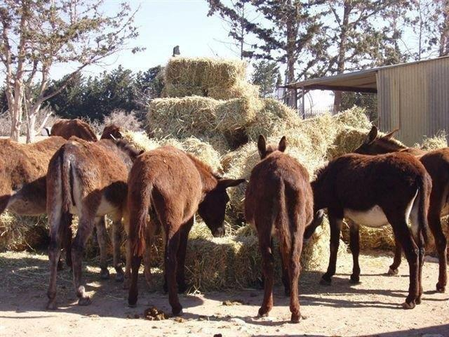 donkeys-feeding9-7-11.jpg - 89.08 Kb
