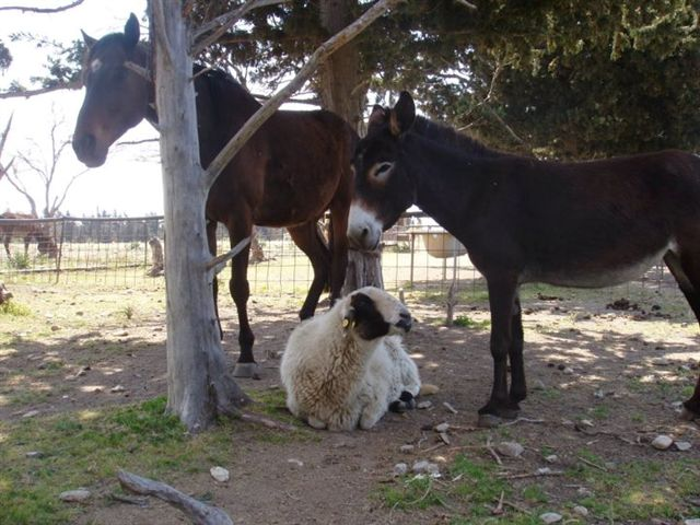 horse-donkey-sheep-25-6-12.jpg - 83.55 Kb