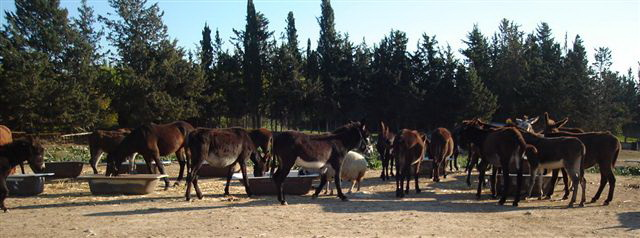 donkeys-feeding.jpg - 70.09 Kb